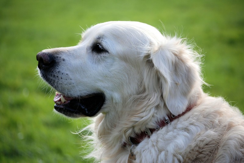 Royal Canin hundefoder til små priser hos Simbas Foder